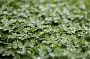 https://pixabay.com/en/clover-alfalfa-rain-just-add-water-2768819/